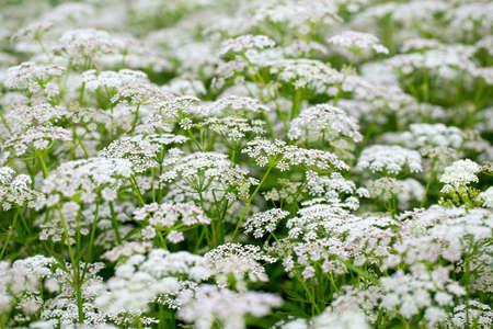 field of flower: campo estivo fiore sfondo