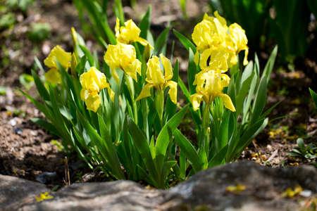 irises: growing yellow irises