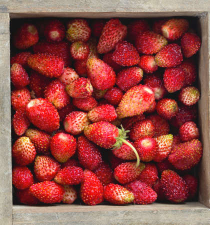 wild strawberry: wild strawberry background