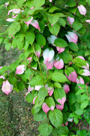 pink  leaf: green and pink leaf actinidia Stock Photo