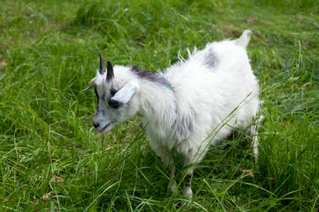 baby goat: adorable child is cuddling a baby goat Stock Photo