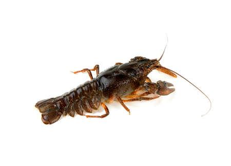 cancers: crawfish isolated on white