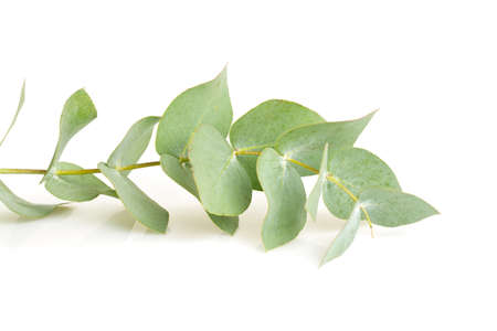 gencives: eucalyptus isolé sur blanc Banque d'images