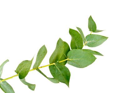 Eucalyptus isolé sur blanc Banque d'images - 51032790