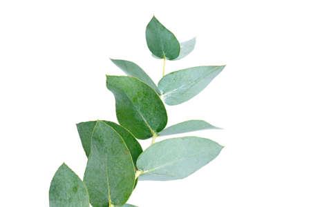 eucalyptus isolated on white