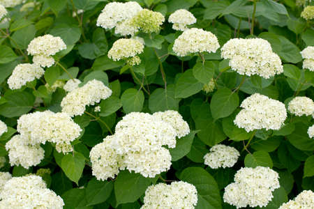 limelight: white hydrangea bushes