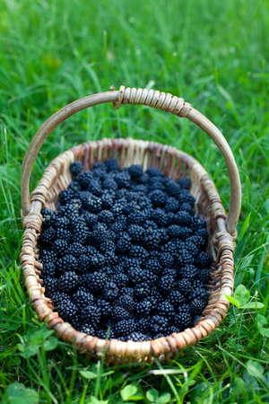 greeen: blackberries in basket on grass Stock Photo