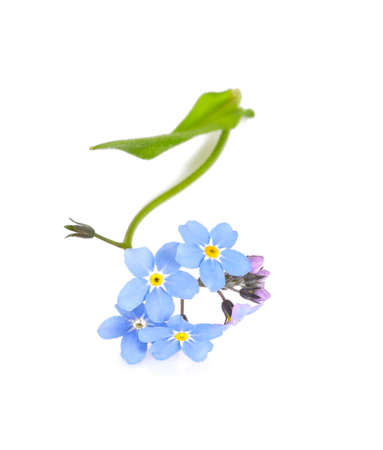 forget-me-not flower isolated on white