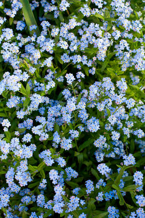 forget-me-not flower Stock Photo