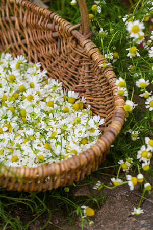 sepals: collecting chamomile flowers