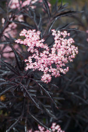Sambucus nigra (Black Lace) in blossoms