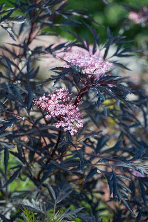 Sambucus nigra (Black Lace) in blossoms