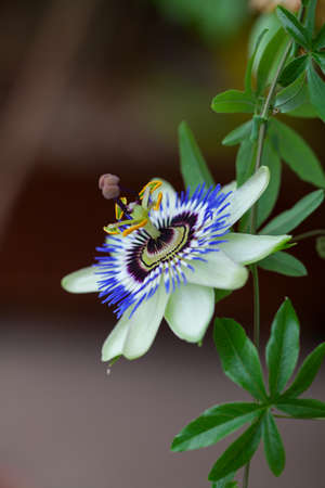 passion flower growing