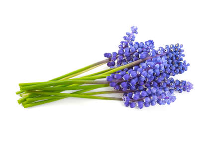 grape hyacinth isolated on white background Banque d'images - 101939077