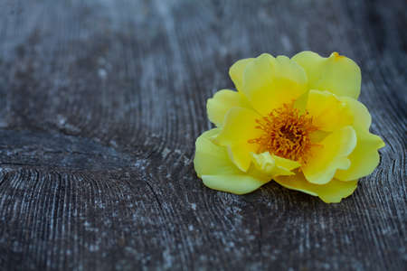 yellow rose on wooden surface