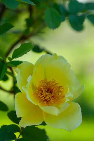 beautiful blooming yellow rose