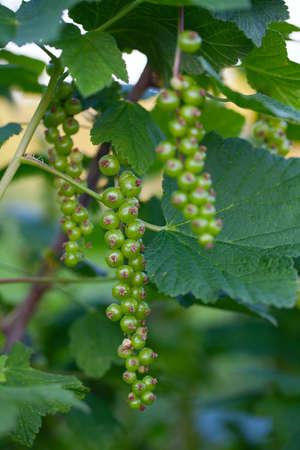 Currant bush with unripe berries