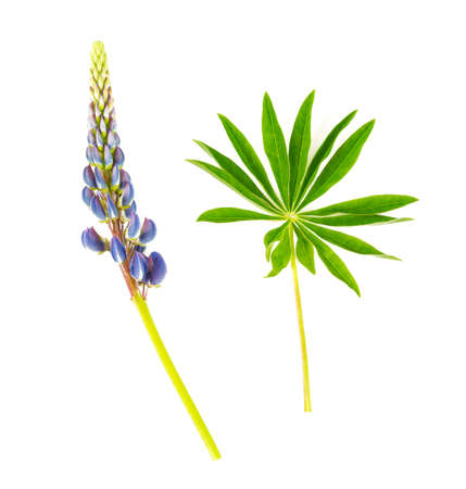 lupine flower isolated on white background Standard-Bild