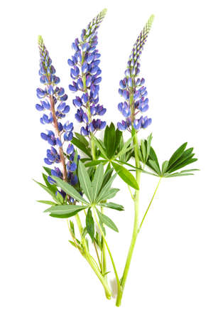 lupine flower isolated on white background Banque d'images