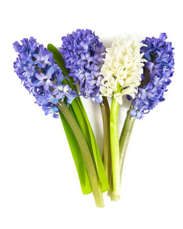 Beautiful hyacinth flowers isolated on white