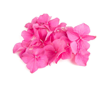 Pink hydrangea flowers isolated on white Stok Fotoğraf
