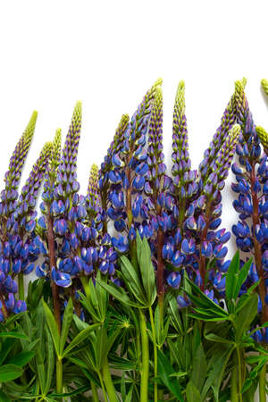 Lupine flower isolated on white Stock Photo