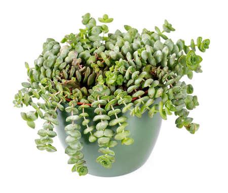 crassula plant isolated on white