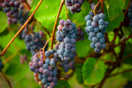 beautiful grapes growing Banque d'images - 122298684