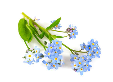 Bunch of fresh blue forget me not flower