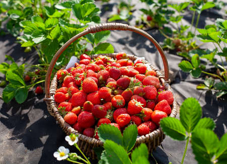 growing organic strawberries on a sunny summer day Stock Photo
