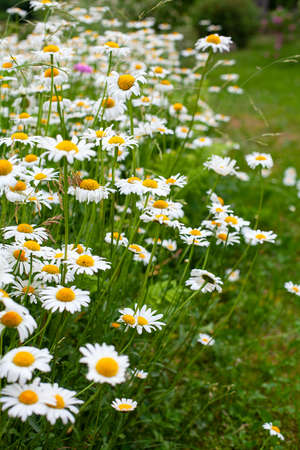 daisies flower meadow, gardening concept Stock Photo