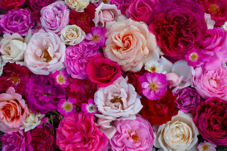 pink,red, violet and white roses background Stock Photo