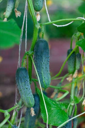 cucumbers growing in a greenhouse Фото со стока