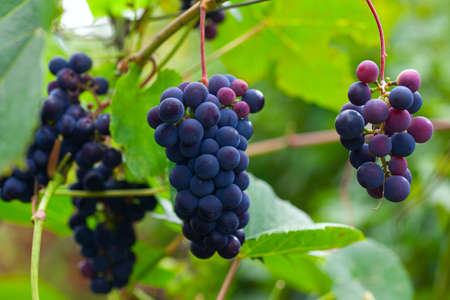 growing grapes on the Vine