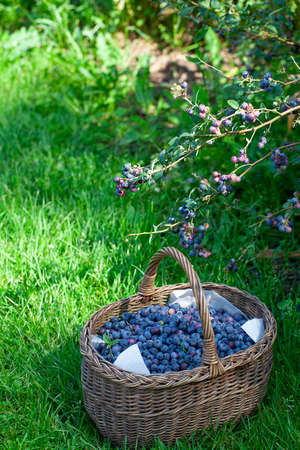 growing blueberries on a sunny summer day
