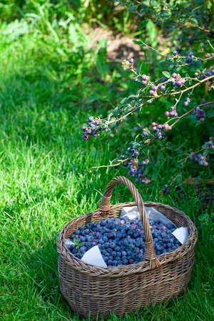 wachsende Blaubeeren an einem sonnigen Sommertag