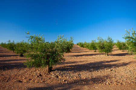 young plantation of olive trees Stock Photo