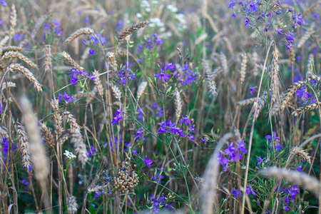 wheat field with corn flowers in the evening Фото со стока