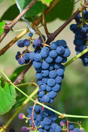 blue grapes growing on vine