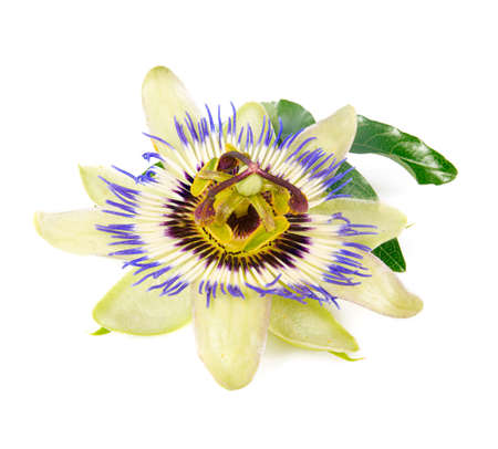 Passionsblume isoliert auf weißem Hintergrund
