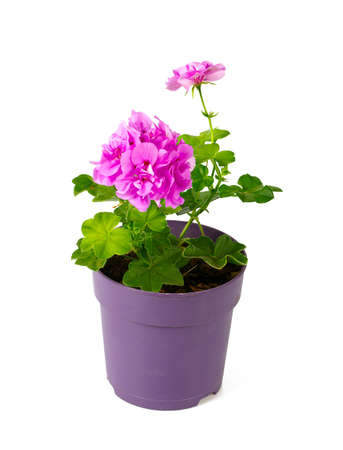 violet geranium flower isolated on white