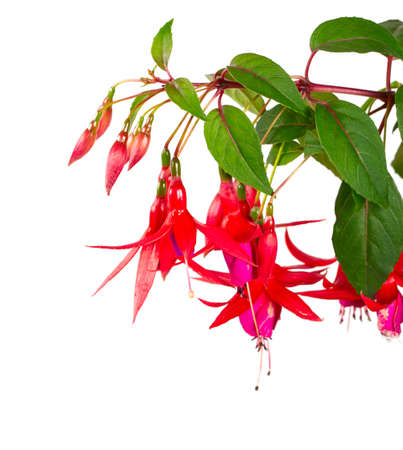 fuchsia plant blossoms isolated on white background