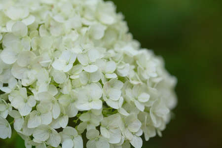 white hydrangea growing on a sunny day Banco de Imagens