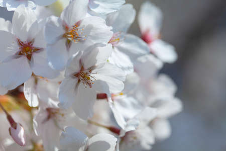 blooming cherry trees in spring