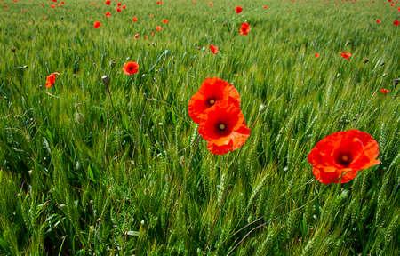 poppy flowerd on s green summer meadow Фото со стока