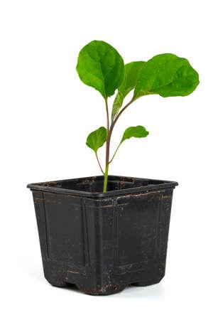 eggplant seedling isolated on white Stock fotó