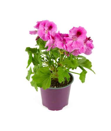 pink geranium flower isolated on white background