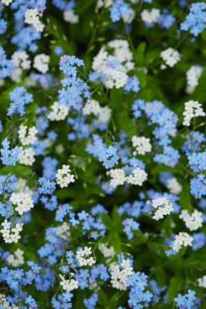 forget-me-not flower in spring forest