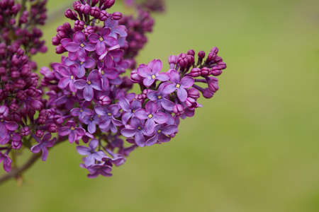 growing blooming lilac bushes, close up Standard-Bild