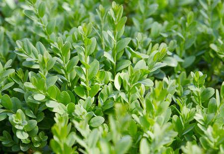 fresh green buxus bush, nature background